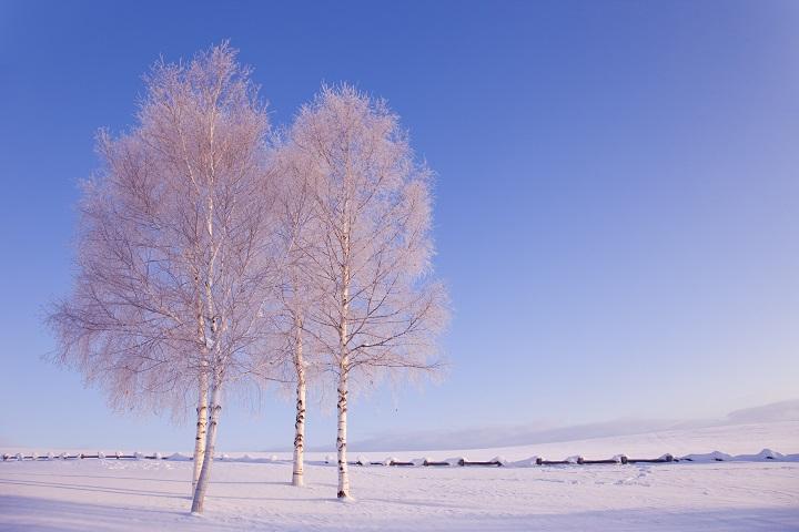 강원도 겨울 자작나무숲3