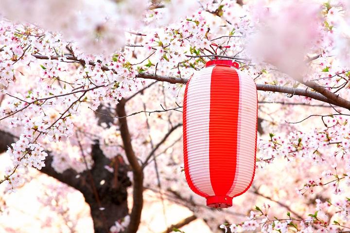 Japanese lantern with sakura