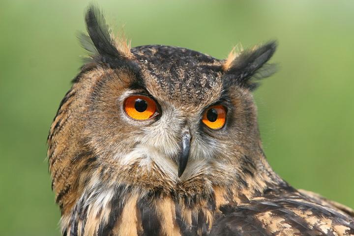 europäischer Uhu, bubo bubo, Northern Eagle Owl